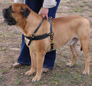 tracking bullmastiff dog harness black