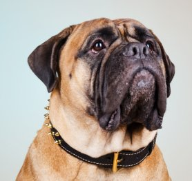 Bullmastiff Breed Information